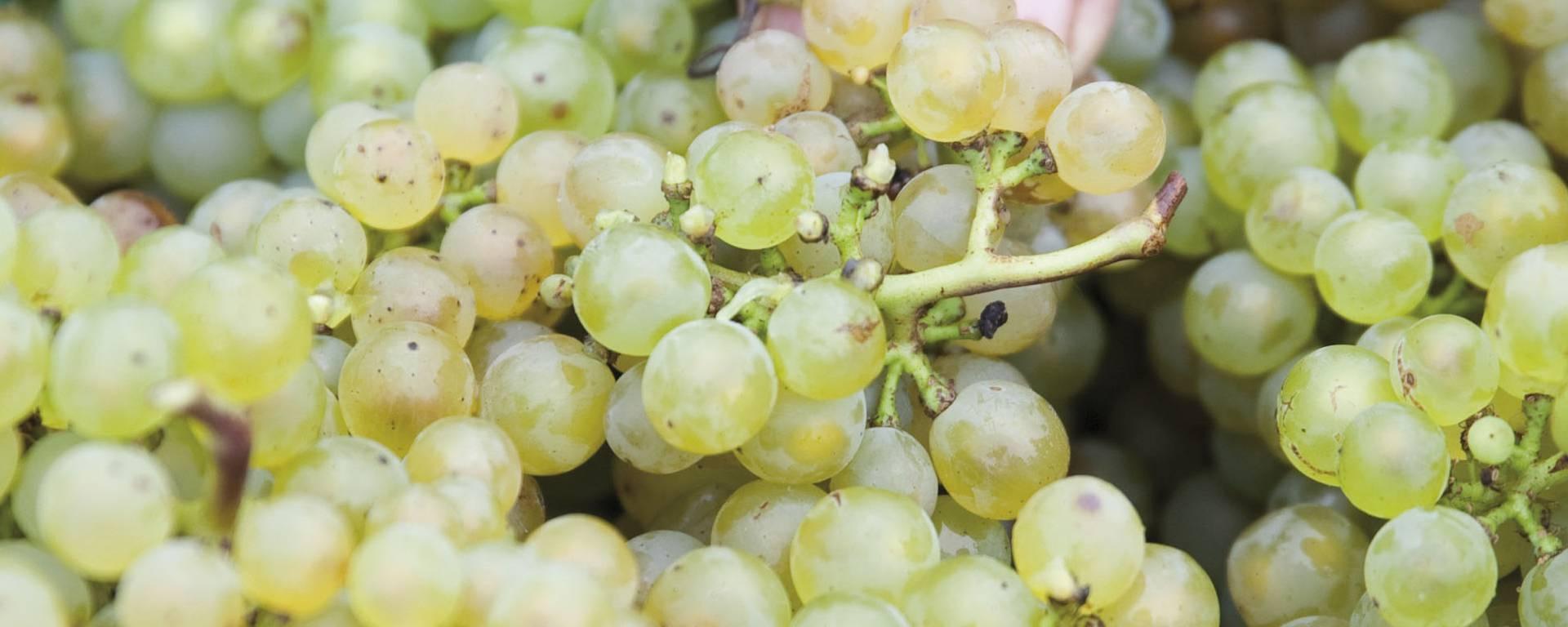 Le raisin récolté © Brigitte Baudesson