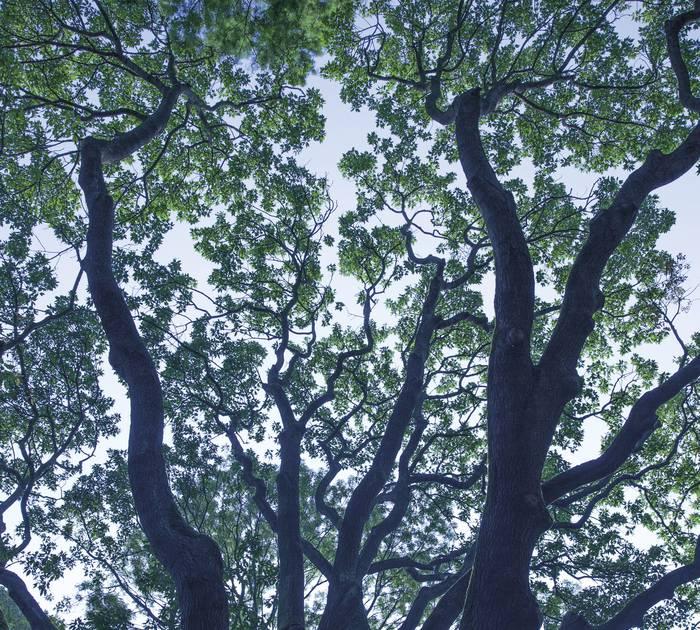 Un arbre majestueux du Manoir de la Peylouse © Brigitte Baudesson