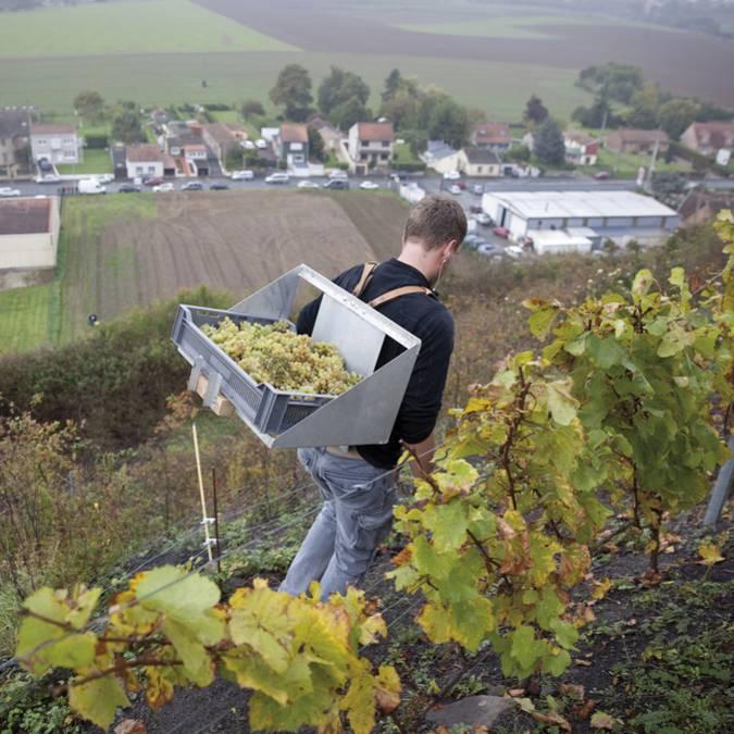 Le raisin descend le terril d'Haillicourt © Brigitte Baudesson